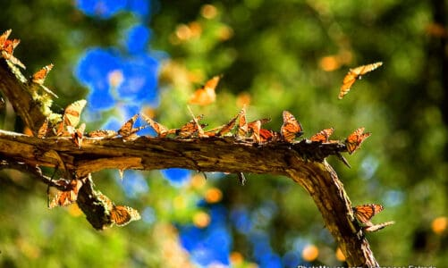 The Monarch Butterfly Migration and Mexico